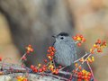 Grey catbird beautiful posing on a branch among lingonberries and blueberries Stock Photos