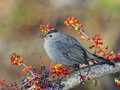 Grey catbird beautiful resting on a branch among lingonberries and blueberries Stock Images