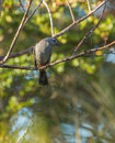 Grey catbird looking curiously a dumetella carolinensis perches on a branch in cuba at the photographer Stock Image