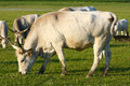 Grey cattle Stock Photos