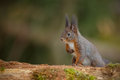 Grey colored red squirrel sciurus vulgaris searching nuts Stock Photos