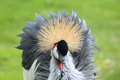 Grey crowned crane Stock Images