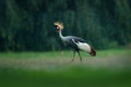 Grey crowned crane, Balearica regulorum, with dark background. Bird head with gold crest in beautiful evening sun light. Sunset in Royalty Free Stock Photo