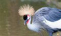 Grey crowned crane balearica regulorum at the jurong bird park in singapore Stock Images