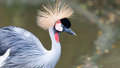 Grey crowned crane balearica regulorum at the jurong bird park in singapore Royalty Free Stock Images