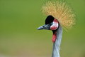 The grey crowned crane balearica regulorum outdoor Royalty Free Stock Photos