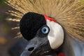 Grey Crowned Crane bird Royalty Free Stock Photo
