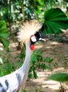 stock image of  Grey Crowned Crane bird in tropical forest