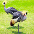 Grey crowned crane closeup two on green grass Stock Images