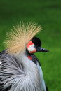 Grey crowned crane detail of balearica regulorum Royalty Free Stock Photo