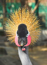 Grey crowned crane posing for the camera is a bird in family gruidae it occurs in dry savannah in africa south of sahara although Royalty Free Stock Photos
