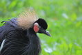 Grey crowned crane s balearica regulorum detail Stock Image