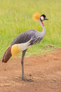 Grey Crowned Crane Side Portrait Royalty Free Stock Photo