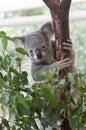 Grey cute young koala holding gum tree Royalty Free Stock Photo
