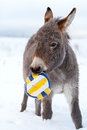 Grey donkey with ball Royalty Free Stock Photography