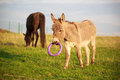 Grey donkey with circle toy Stock Photos