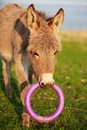 Grey donkey with circle toy Royalty Free Stock Images