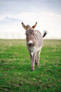 Grey donkey little in field Royalty Free Stock Image