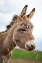 Grey donkey little in field Royalty Free Stock Images