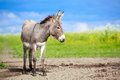 Grey donkey little in field Stock Image