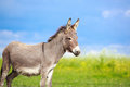 Grey donkey little in field Royalty Free Stock Photo
