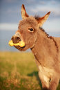 Grey donkey with yellow toy Royalty Free Stock Photography