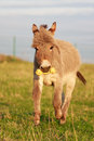 Grey donkey with yellow toy Royalty Free Stock Image