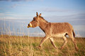 Grey donkey with yellow toy Royalty Free Stock Images