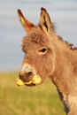 Grey donkey with yellow toy Stock Photos