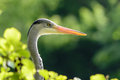 Grey Egret closeup Royalty Free Stock Photo