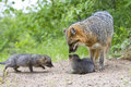 Grey fox with kits at den site Stock Photo