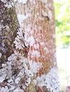 Grey fungi on tree closeup of lecanoromycetes maple Stock Images