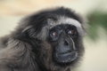 Grey gibbon the detail of adult Stock Images