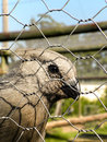 Grey go away bird a close up view of a in captivity Stock Photography