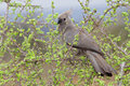 Grey go away bird corythaixoides concolor also known as grey lourie grey loerie southern african bird uniform grey black beak Stock Image