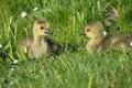 Grey goose biddy of at a lake in may Royalty Free Stock Image