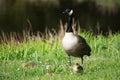 Grey goose biddy of at a lake in may Royalty Free Stock Photos