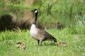 Grey goose biddy of at a lake in may Stock Photo