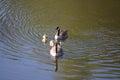 Grey goose biddy of at a lake in may Royalty Free Stock Photography