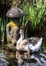 Grey goose floating on the pond in Japanese garden. Royalty Free Stock Photo