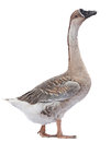 Grey goose gray farm bird isolated on white Royalty Free Stock Photography