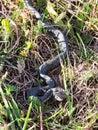 Grey grass- snake, Lithuania