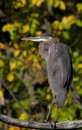 Grey great heron Royalty Free Stock Images