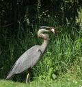 Grey great heron Royalty Free Stock Photos