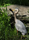 Grey great heron and fish Stock Photography