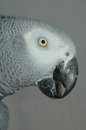 Grey on grey portrait of african parrot psittacus erithacus background Stock Image