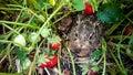 Grey hare among ripe strawberries Royalty Free Stock Photo