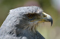 Grey Hawk head Royalty Free Stock Photo