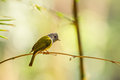 Grey headed canary flycatcher holding on the bamboo branch Royalty Free Stock Image
