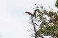 Grey headed flying fox in flight park in sydney Stock Photos